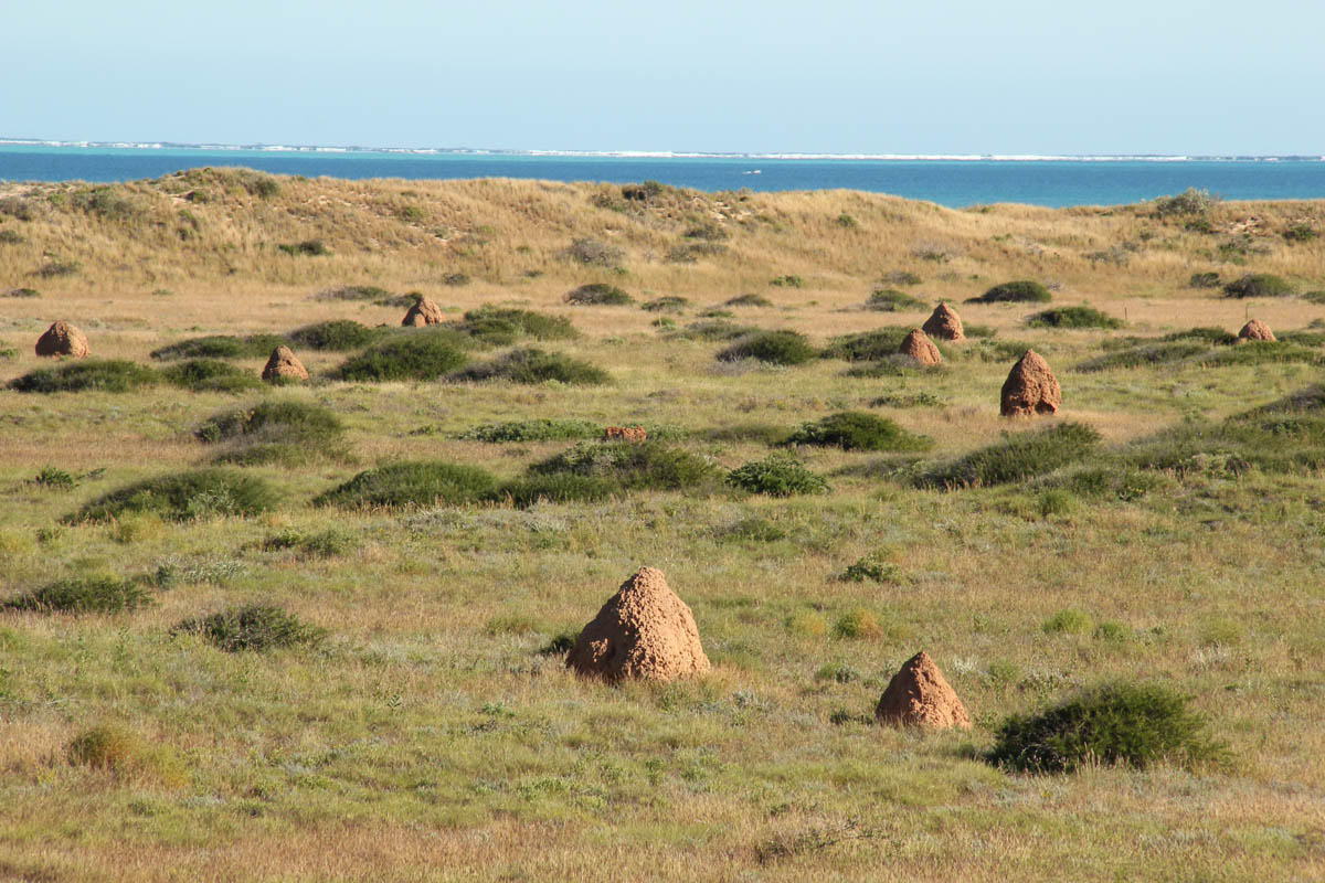 There are numerous termite mounds at Bruboodjoo Point, near Coral Bay, WA