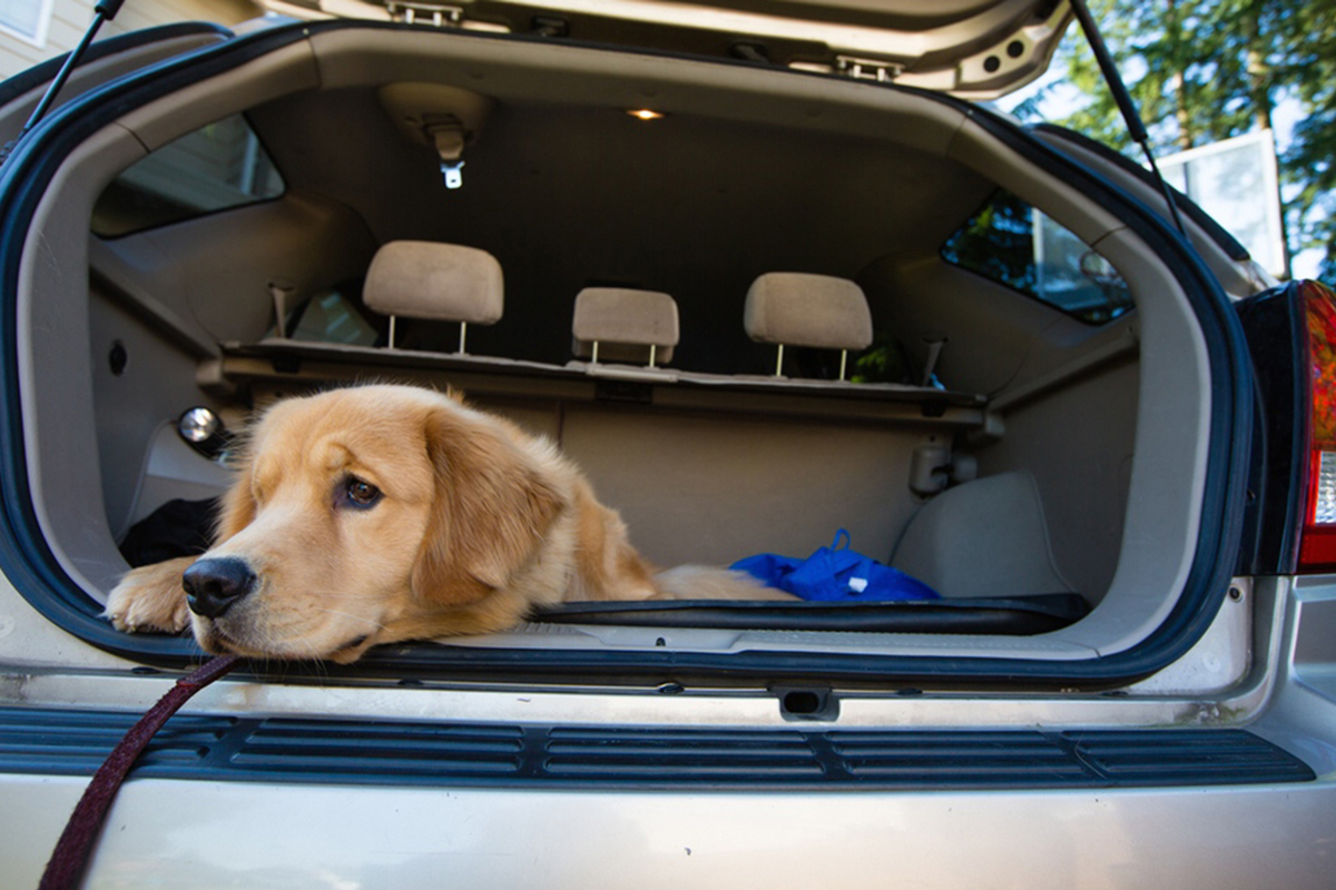 Dog hanging its head outside the boot of a parked car